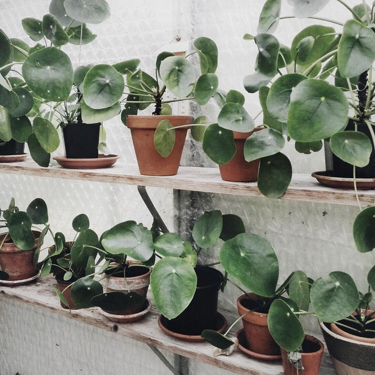 85 best pilea images on pinterest indoor house plants indoor plants and green plants. Black Bedroom Furniture Sets. Home Design Ideas