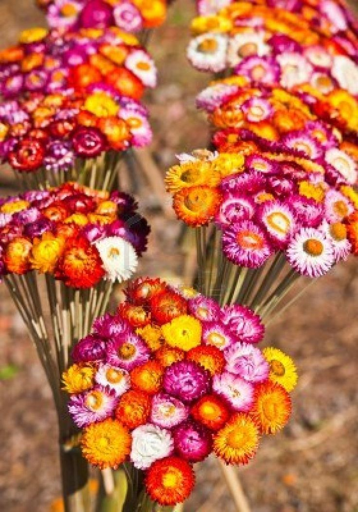 Bouquet of dry straw flower or everlasting (Helichrysum bracteatum)  Stock Photo    I grew strawflower last summer, and they were amazing. Bright technicolour, longlasting flowers from planting 'till the frost, nice mounding habit, thrived on neglect. Excellent annual.