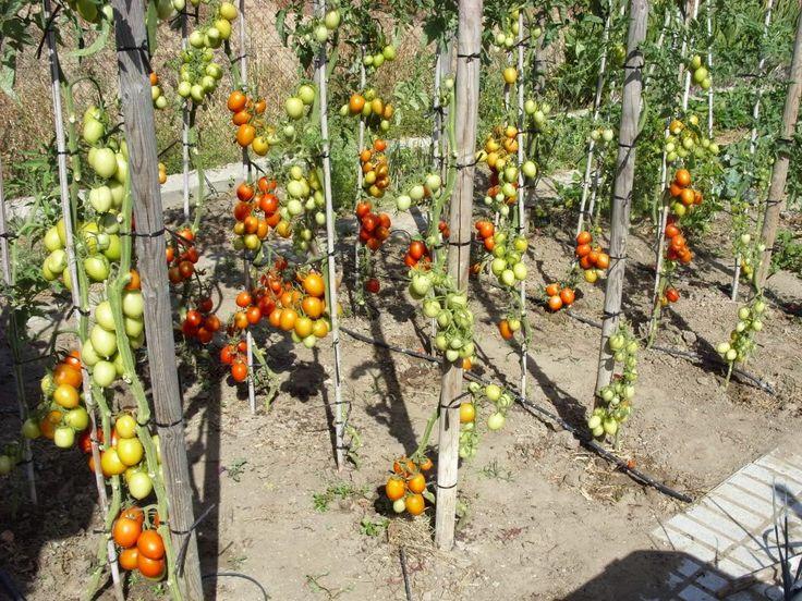 Обрывать листья у томатов фото