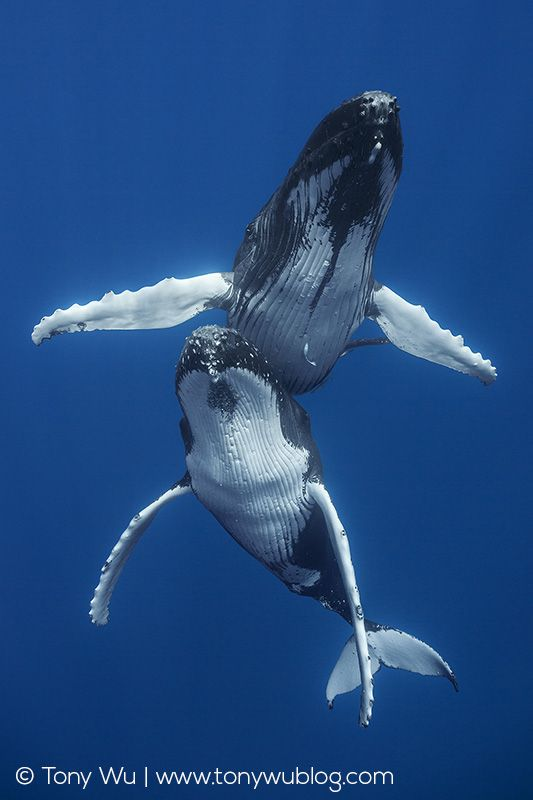 Male and female humpback whales engage in courtship. - The Honeymooners - by Tony Wu