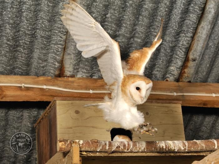 Barn Owls in autumn - dispersal of young