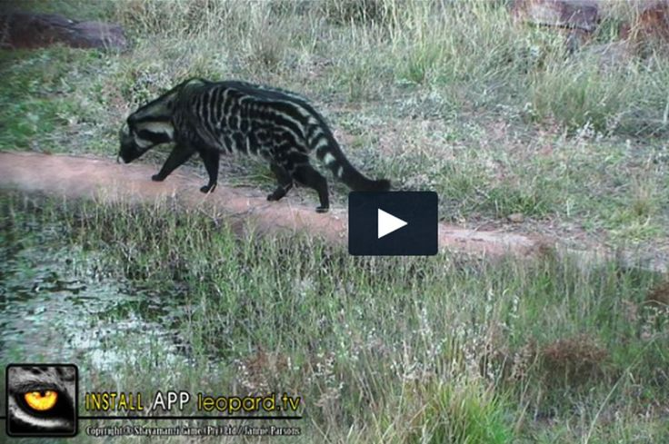 Do you know what the African civet looks like?