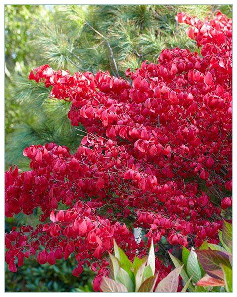 Trzmielina oskrzydlona / Euonymus alatus PŁONACY KRZAK - P9 [#6524] | ŚWIATCEBUL.pl \ Inne ŚWIATCEBUL.pl \ Krzewy ozdobne | Świat Cebul.pl... tu zaczyna się Twój ogród. Cebulki kwiatowe, bulwy i kłącza.