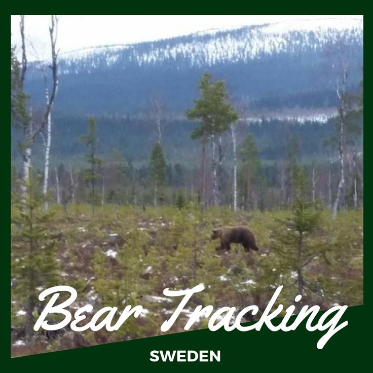 First bear sighting of the season at our wildlife tracking project in Sweden. Join us this summer!