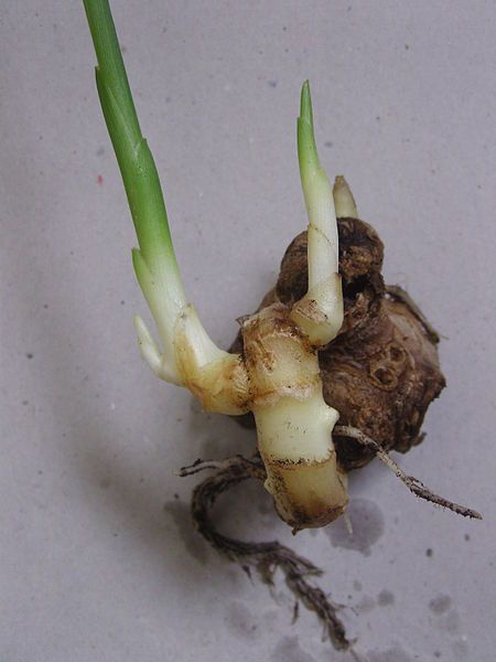 Warum man Ingwer auf seinen Balkon pflanzen sollte? http://www.heimgruen.de/blog/ingwer-auf-dem-balkon-pflanzen/