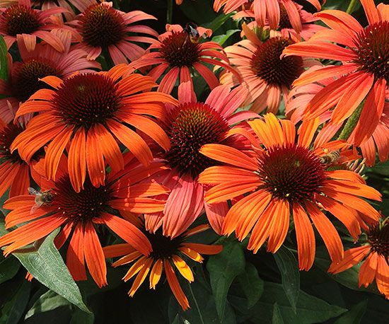 The eye-popping tangerine flowers of 'Orange Skipper' echinacea are named after a popular butterfly of the same color. So it's probably no surprise that its nectar-rich blooms will also attract clouds of hungry butterflies to your garden. 'Orange Skipper' is a sturdy, compact variety that develops a seemingly endless supply of single flowers that work as well in the vase as they do in the garden. Plant Name: Echinacea Butterfly 'Orange Skipper' Growing Conditions: full sun Size: 15-18…