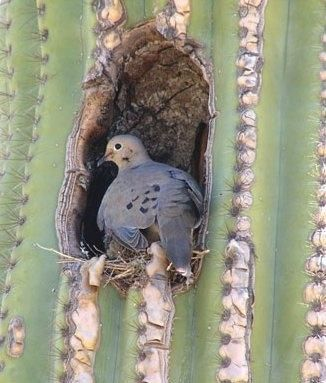 Tucson AZ dove nesting in saguaro cactus -:)Brought to you by Cookies In Bloom and Hannah's Caramel Apples   www.cookiesinbloom.com   www.hannahscaramelapples.com