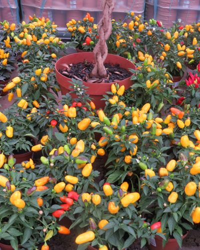 Lifestyle - The Health Benefits of Chilli Peppers