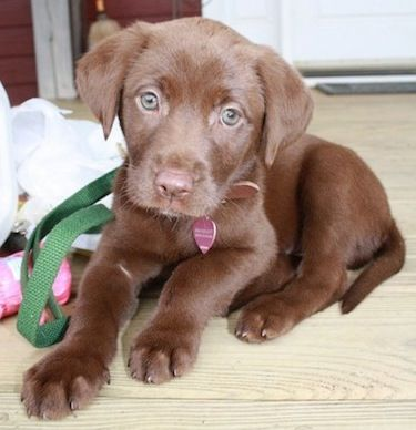 Chocolate Lab puppy...look at those eyes!