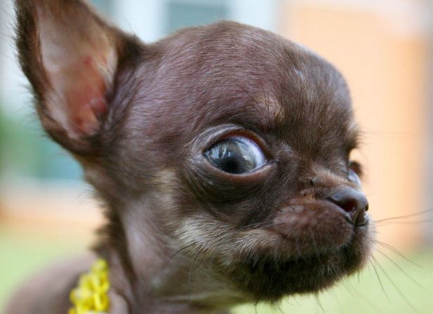 Head explosion in 3...2...Baby Chihuahuas, Dogs, Puerto Rico, Ay Chihuahuas, Chihuahuas Lovers, Petite Pup, Funny Animal, Big Eye, Chihuahuas Personalized