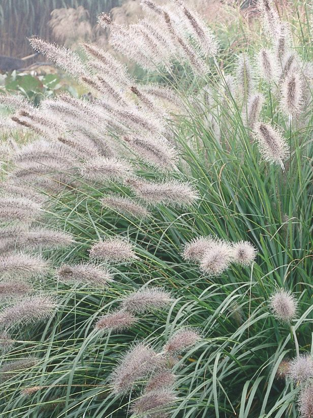 205 best images about plant identification on pinterest for Long grass in garden