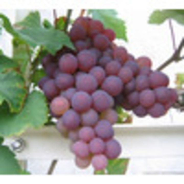 Grape Vine Chasselas Rose Royal Dessert - has a new #review on: https://www.gardencentreguide.co.uk/product/472475/grape-vine-chasselas-rose-royal-dessert/reviews#review-63435 - @gcguide