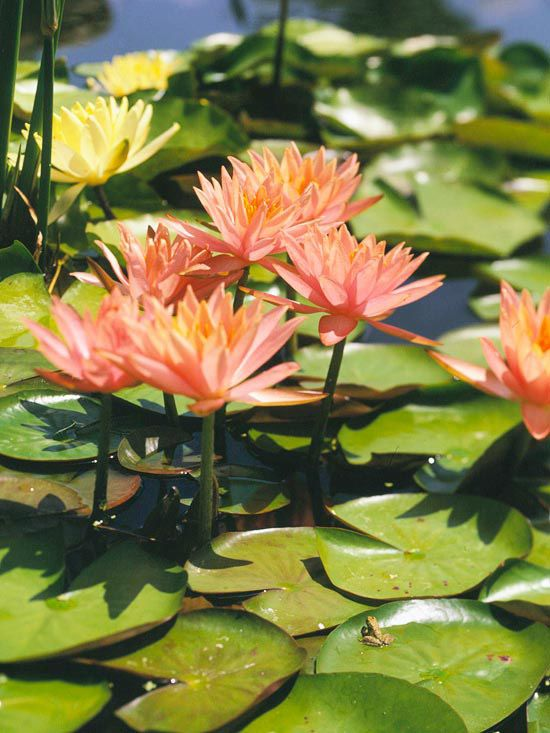 37 best retention pond plants images on pinterest for Recommended pond plants
