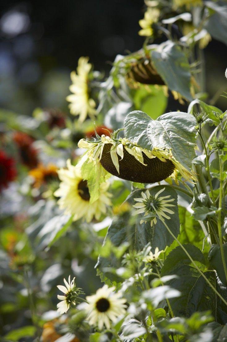 sunflowers-helianthus-britt-willoughy-dyer-gardenista-BN2A0118