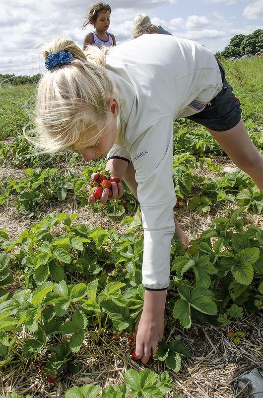 jordbær selvpluk