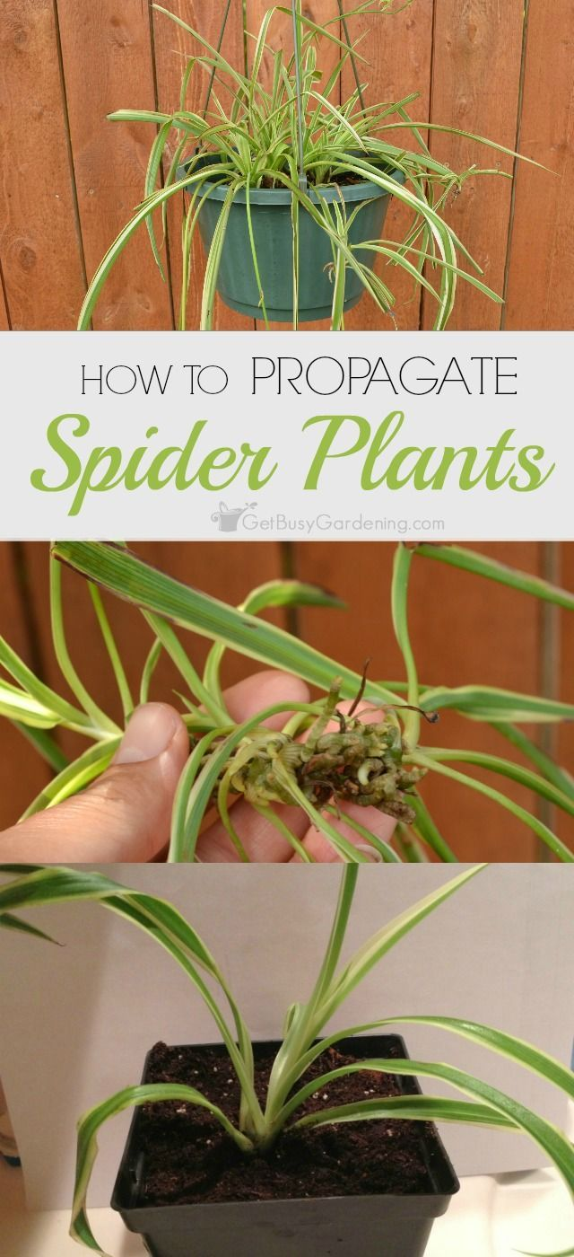 How to Propagate Spider Plants - Spider plants are one of the easiest houseplants to propagate and if you follow a few simple steps, you will soon have several spider plants in your home. | Get Busy Gardening!