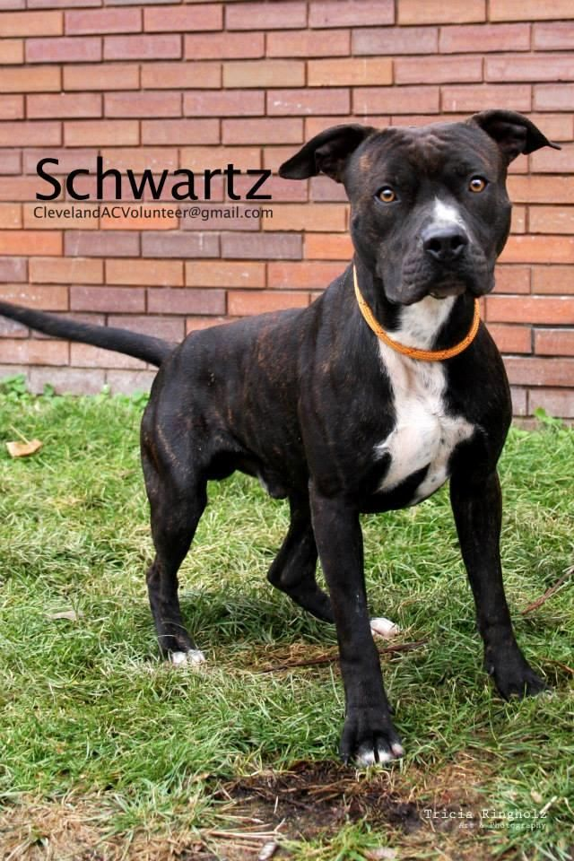 ADOPTED 3/4/15 K104: Schwartz is a 1 y.o., 56 lb. male, Heartworm negative  Intake date: 12/1/14  Booking #76347   Adopted dogs receive DHPP, Bordetella, and a 1-yr rabies vaccintation   Schwartz is a young, playful boy who absolutely loves tennis balls. He would be a great candidate for agility work. Schwartz is a well-balanced boy who was definitely someone's pet. He has a gorgeous coat and expressive eyes. ClevelandACVolunteer@gmail.com