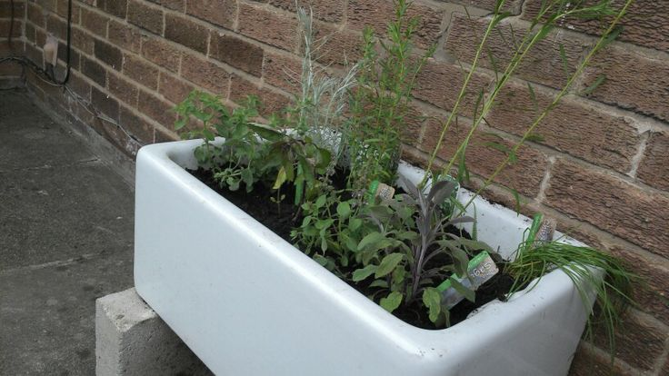 herb garden in a Belfast sink