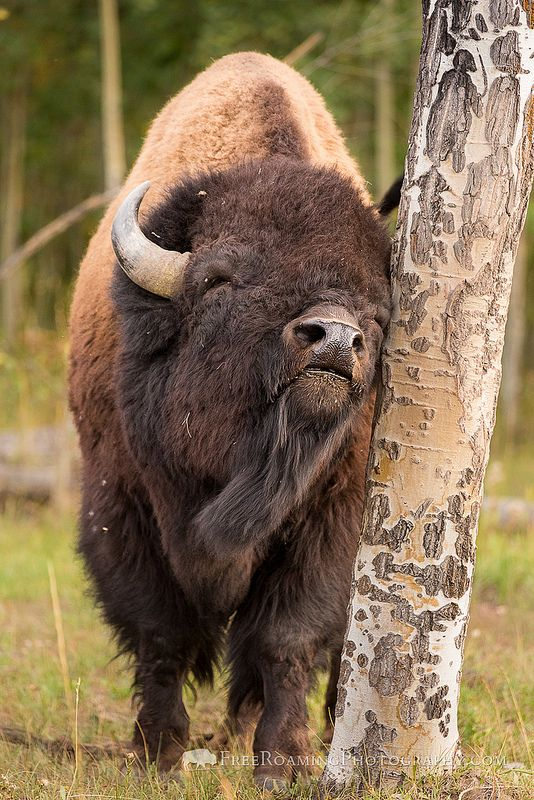 Bison Scratching an Itch, Grand Teton National Park, Wyoming. Photo ©Free Roaming Photography