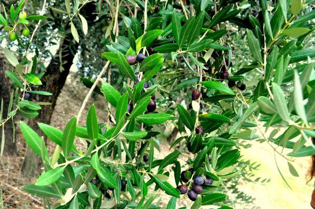olivs
