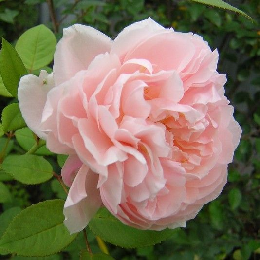 Rosa 'St. Cecilia' ~ English rose.  My favorite David Austen rose!  It's in my garden.  Love.