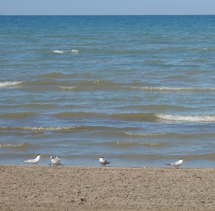 Plovers at the Shore