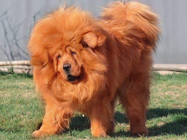 "Red Tibetan Mastiff also known as ""Do-Khyi""(translated as ""door guard"", ""dog which may be tied"", ""dog which may be kept""), reflects its use as a guardian of herds, flocks, tents, villages, monasteries, and palaces, much as the old English ban-dog (also meaning tied dog) was a dog tied outside the home as a guardian."