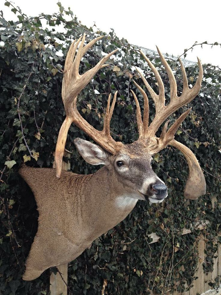 Unusual antlers taxidermy and pelts pinterest for Fish taxidermy near me