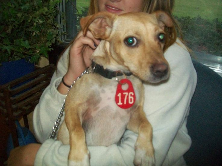 #MICHIGAN #URGENT ~ ID 176 is a small Terrier mix in need of a loving #adopter / #rescue at GRATIOT COUNTY ANIMAL CONTROL  has had a contract with R & R a Class B animal dealer selling to RESEARCH - http://pcrm.org/good-medicine/2012/winter2012/queenies-story    2675 W Washington Rd   #Ithaca MICHIGAN 48847   Ph 989-875-2221