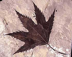 At right, a sycamore leaf Platanus wyomingensis. Crocodiles and sycamores are among the fossils that provide evidence for ...