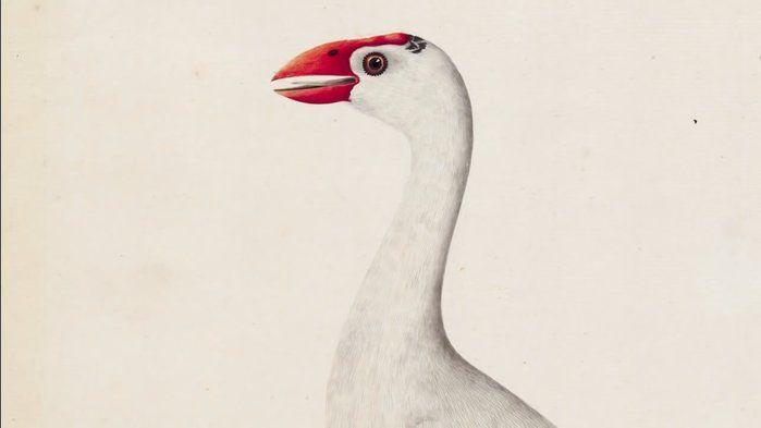 The Sydney Bird Painter - 'The white gallinule' c. 1791-92 - The Arts (3,4,7,8)