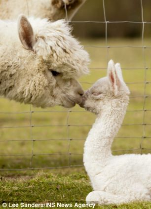 Quito, a four-day-old baby alpaca, Cria, pictured with his mother Miriam