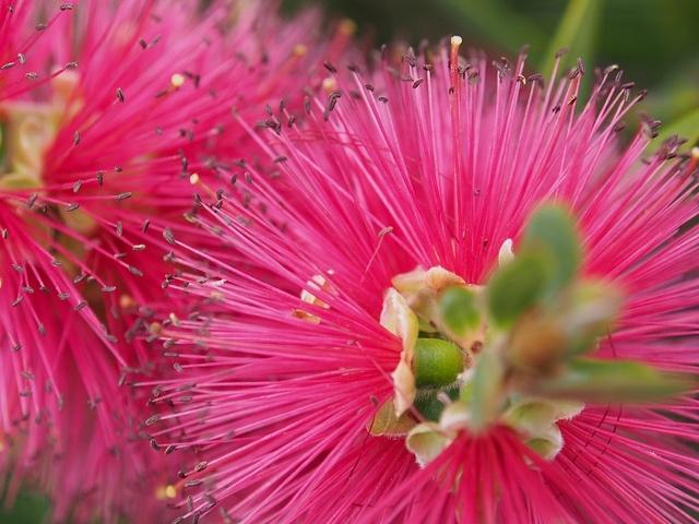 Callistemon by Sylvia Nevistic, via Flickr