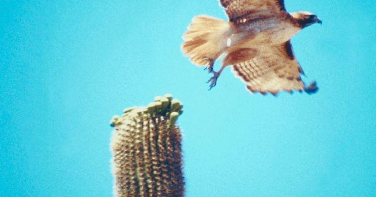 Como desenhar um gavião voando. Gaviões são elegantes aves de rapina que vagam pelo céu em busca de comida. Aprenda a desenhar um gavião voando e capture a magia dessa criatura com cada movimento do lápis. Embora seja naturalmente difícil desenhar aves devido à precisão e aos detalhes necessários para criar penas realistas, uma imagem de referência pode fornecer um grande ...