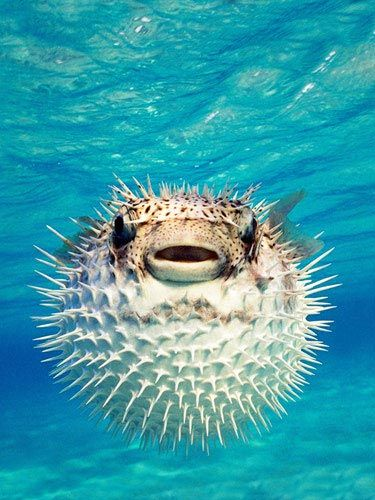 """Biologists think pufferfish, also known as blowfish, developed their famous """"inflatability"""" because their slow, somewhat clumsy swimming style makes them vulnerable to predators."""
