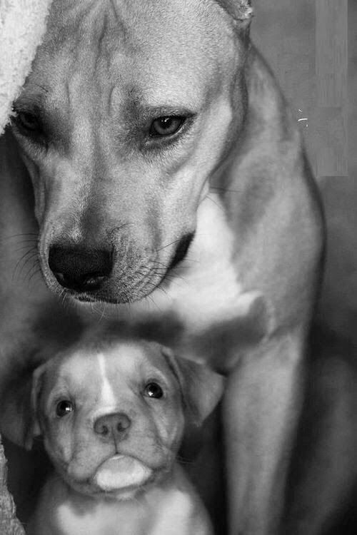 5 interesting facts about Pit-bulls | Fact#05