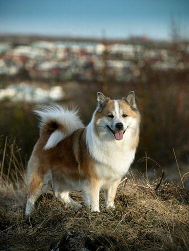 Icelandic Sheepdog Westminster 17 Best images about I...