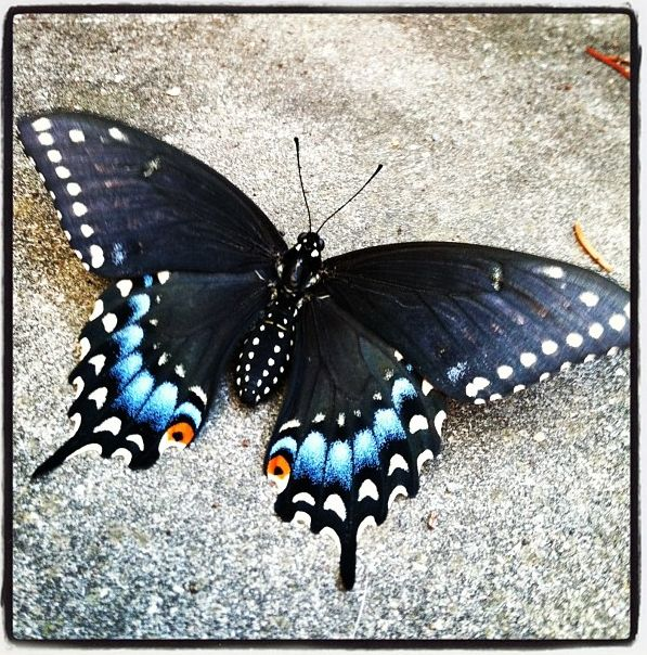Black Swallowtail Butterfly Tattoo This morning a beautiful black
