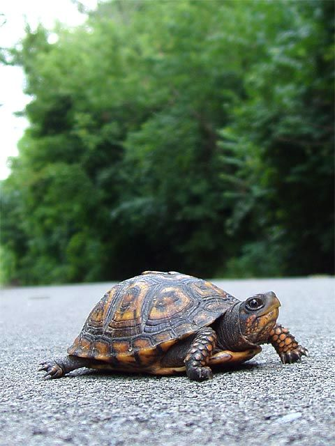 STOP HITTING TURTLES...It takes a turtle seven or eight years to become mature enough to reproduce, and in that time, it might make several trips across the road to get from one pond to another, looking for food or a place to lay eggs. A female turtle that lives 50 years might lay over 100 eggs, but just two or three are likely to survive to reproduce.