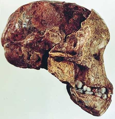 This is the image of the Taung Baby, discovered in 1924 by Raymond Dart, and he represents the very first Australopithecus identified