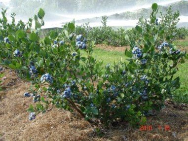 Muskoka Blueberries
