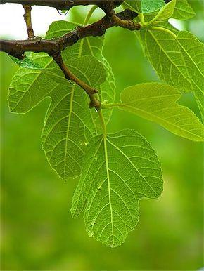 Medicina natural para diabetes: hojas de higuera