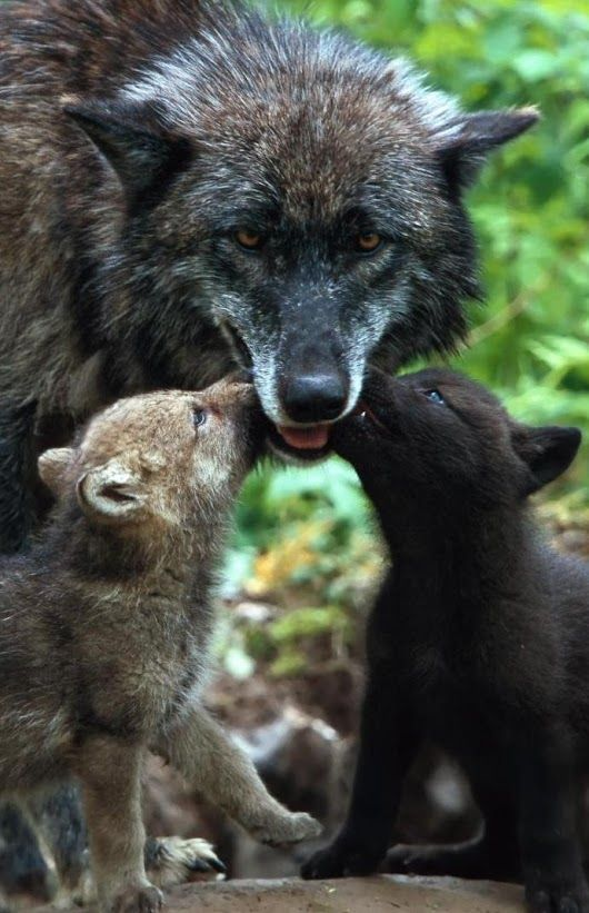She-wolf mom and pups!