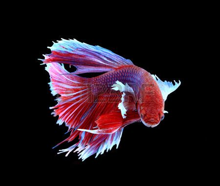 Red and blue siamese fighting fish betta fish isolated on for Betta fighting fish