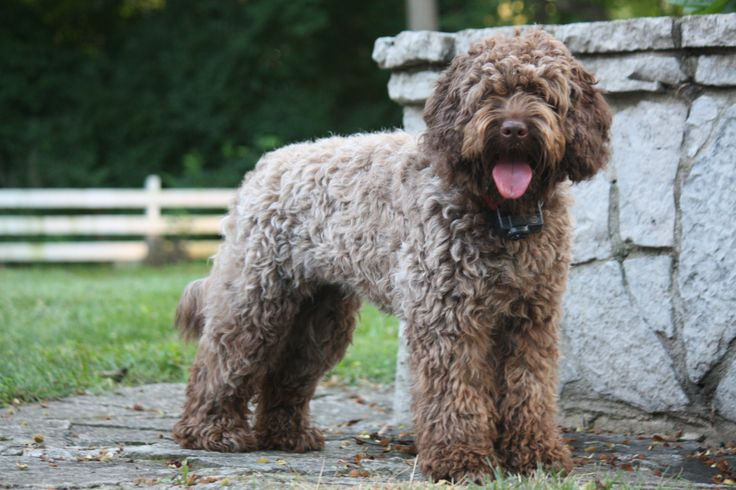 IMG_5024 Labradoodle puppy, Puppies for sale