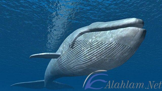 تفسير رؤية حلم الحوت في المنام لابن سيرين الحوت الحوت في الحلم الحوت في المنام تفسير حلم الحوت Blue Whale Whale Pictures Whale