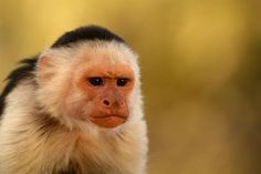 Pet monkeys are controversial pets across the country. Capuchin monkeys are known for their tiny sizes and baby faces but do they make…
