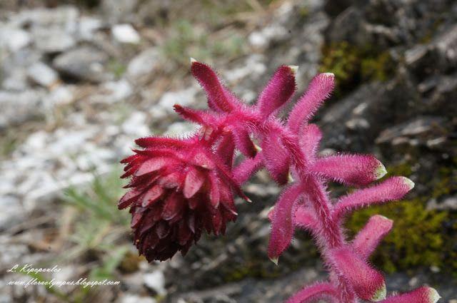 αγριολούλουδα του Ολύμπου: Saxifraga federici-augusti subsp. grisebachii (Deg...