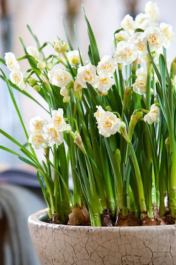 Rich flowerering narcissus Bridal Crown. The ultimate spring feeling. These are also lovely smelling. Plant them in october/november and enjoy spring in march/april next year.  #narcissus #daffodils #springtime #flowers #gardening #gardeningtips #planting #flowerbulbs
