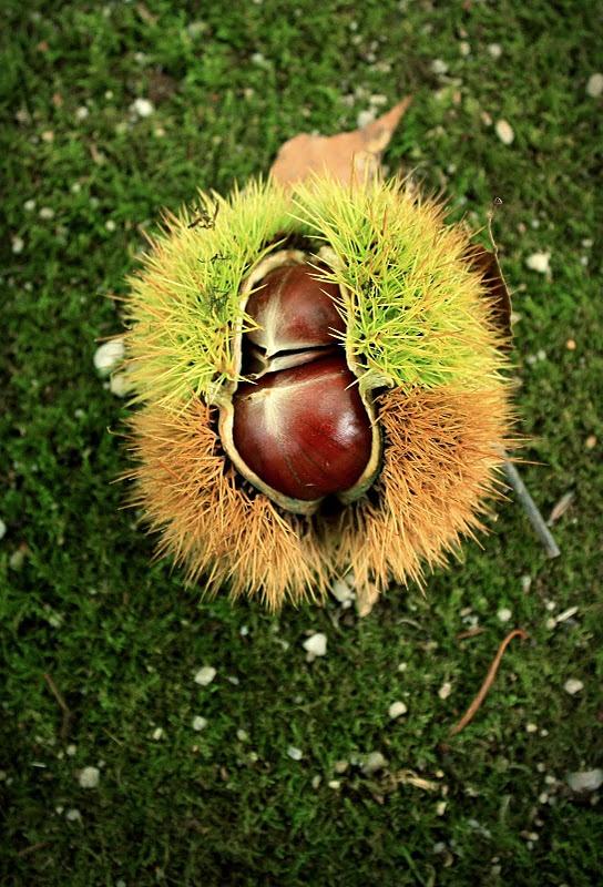 Chinese-chestnut-castanea-mollissima